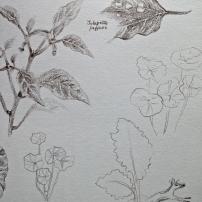 Jalapenos, Nasturtiums