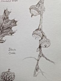 Black Oak Acorns